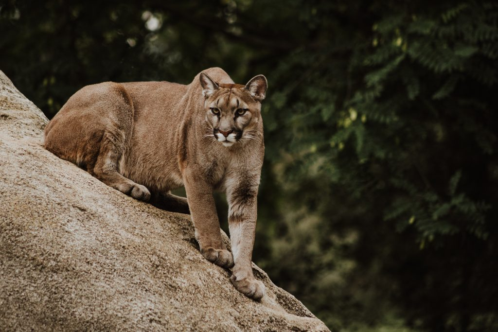 Image of a cool, calm, confident mountain lion. No anger