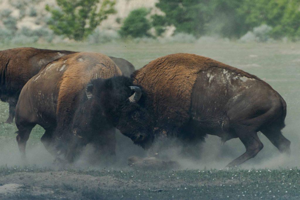 Image of two buffalo battling like warriors